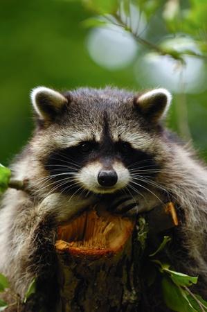Un mapache triste dulce está sentado en un árbol y mirando.