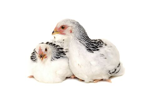 chiken: Chickens is standing and looking. Isolated on a white background. Stock Photo