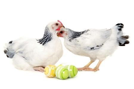 pollitos: Pollos con huevos de Pascua. Aislado en un fondo blanco.