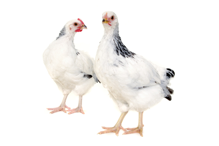 chiken: Chickens is standing and looking  Isolated on a white background  Stock Photo