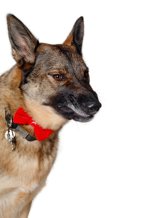 Angry german shepherd dog on white photo