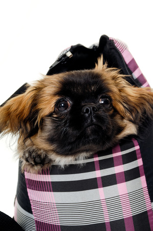 A sweet puppy in transportation bag on a white background photo