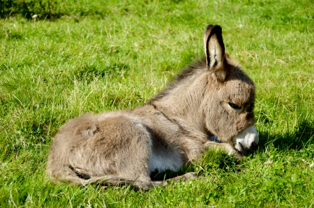 A sweet donkey foal resting on green grass