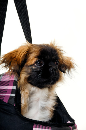 A sweet puppy in transportation bag. Taken on a white background photo