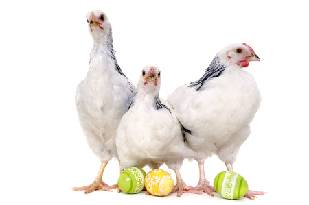 Chickens with easter eggs. Isolated on a white background. photo