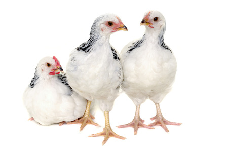 Chickens is standing and looking. Isolated on a white background. photo