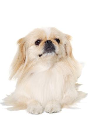 pekingese: Pekingese dog is resting on  white