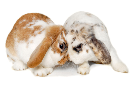 animals together: Two sweet rabbits is sitting isolated on white