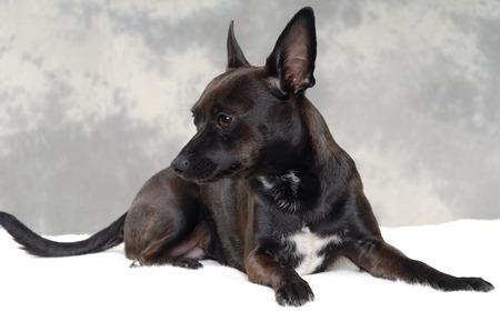 miniature breed: Smalle cachorro de perro negro está descansando. El Breede del perro es una mezcla de un chihuahua y un pinscher miniatura. Foto de archivo