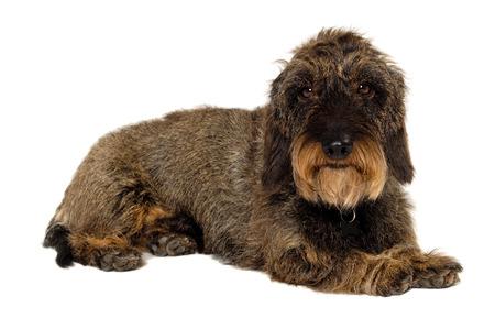 Dachshund dog isolated on white  photo