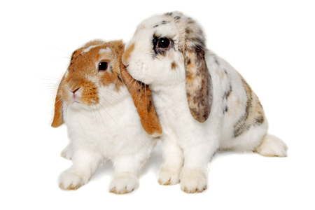 animals together: Two sweet rabbits is sitting on a white background Stock Photo