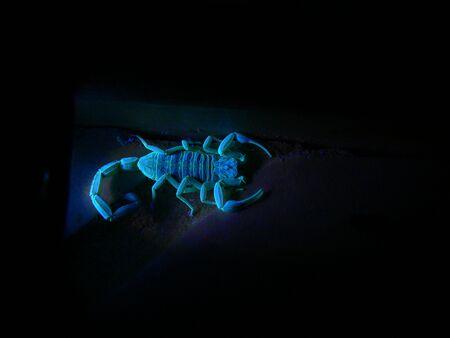 florescent light: A photograph of a scorpion florescing under ultraviolet light.