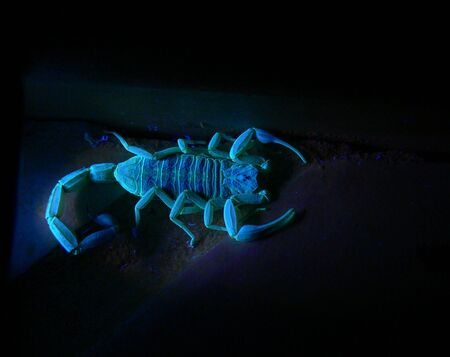 A photograph of a scorpion florescing under ultraviolet light. photo