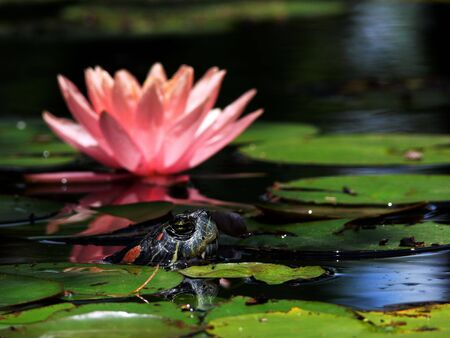 lilypad: A closeup of a turtle and pink waterlily surrounded by green lily pads. Stock Photo