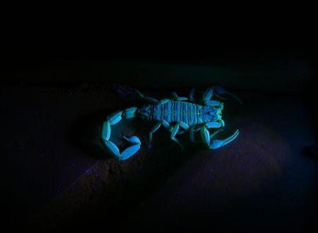 ultraviolet: A photograph of a scorpion florescing under ultraviolet light.