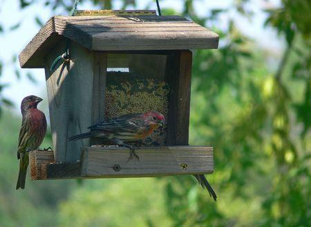 Una fotografía de un grupo de gorriones rojos (probablemente pinzones de cámara) comiendo semillas de un alimentador de ave.  Foto de archivo - 6026734