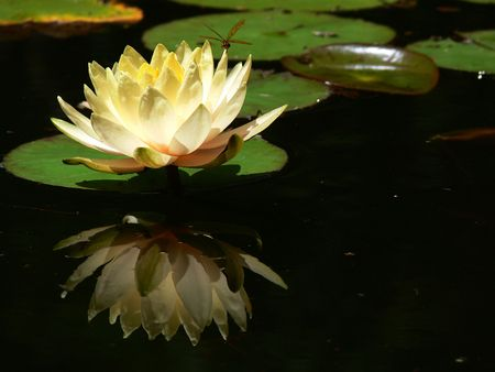 A photograph of a brown dragonfly and yellow waterlily reflected in a pond.