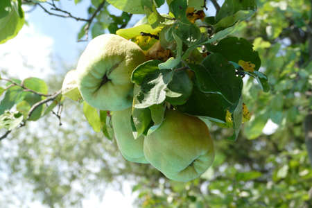 quinces: Healthy quinces on a tree in the garden