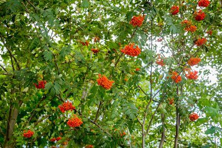 eberesche: Rowan branch