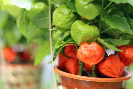 ground cherry:  Ground cherry Stock Photo