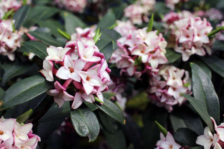 daphne: Flowers bloom in spring emit a nice fragrance, daphne Stock Photo