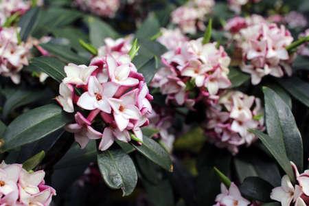 daphne: Las flores florecen en la primavera de emitir una fragancia agradable, daphne