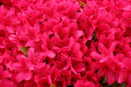 Azalea in full bloom that get wet in rain photo