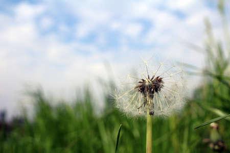 fluff: Dandelion fluff that grows on field