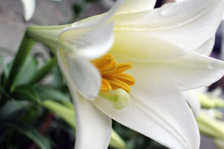 easter lily: Easter lily that was wet in the rain