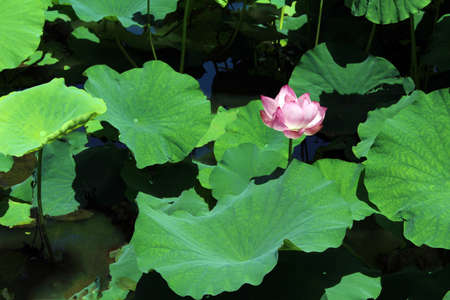 gregarious: Water lily Stock Photo