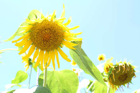 passe: Sunflower that passe