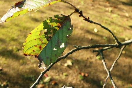 dode bladeren: Dode bladeren links op de takken