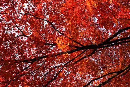 feuillage: Maple foliage