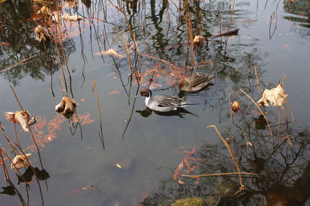 dead duck: Water Lilies of the dead pond and duck