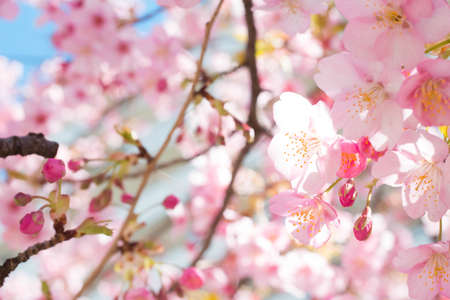 Sakura of early flowering Stock Photo