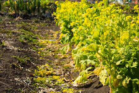 oilseed: Oilseed rape Stock Photo