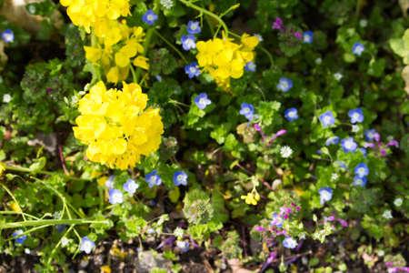 veronica flower: Field of spring