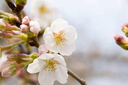 Cherry blossom and bud Stock Photo