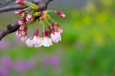 bloom: Sakura of early bloom