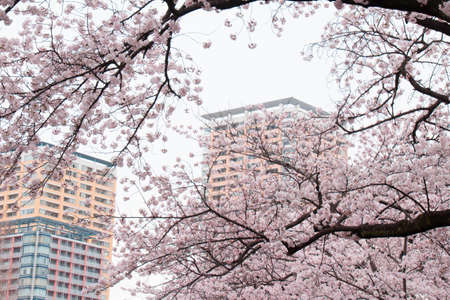 full bloom: Cherry blossoms in full bloom and the apartment Stock Photo