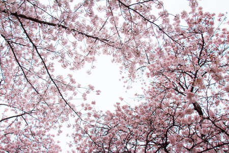 full bloom: Sky visible from the cherry tree in full bloom