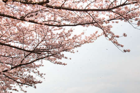 full bloom: Petals fall and the cherry tree in full bloom Stock Photo