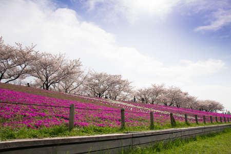 full bloom: Sakura and phlox in full bloom along the Arakawa