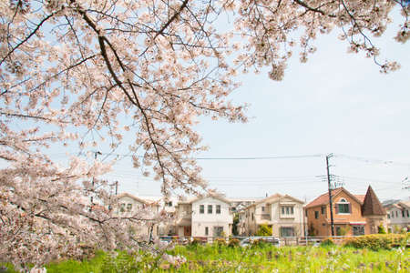 full      bloom: Sakura and city of the full bloom of Sasame River Stock Photo