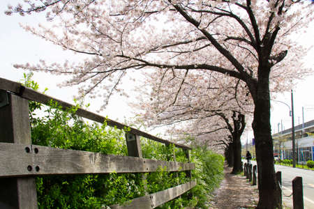 full      bloom: Cherry trees in full bloom of Sasame River