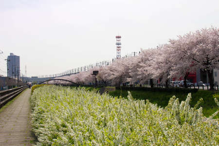 full      bloom: Sakura and Spiraea of full bloom of Sasame River