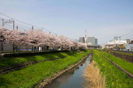 full bloom: Cherry tree in full bloom of Sasame River