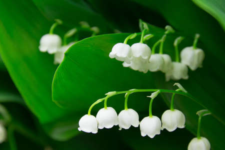 gregarious: Lily of the valley, which bloom in the garden