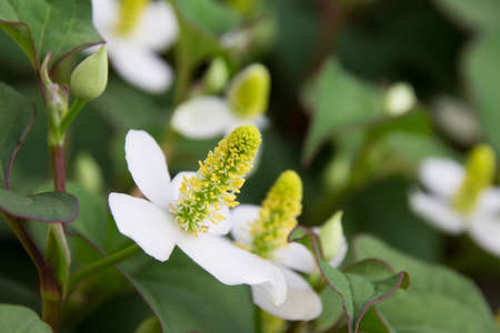 anthers: Houttuynia of flowers Stock Photo