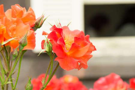 rosas naranjas: Rosas de color naranja que florecen cerca de la ventana Foto de archivo